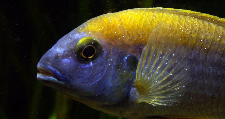 Ospa rybia - Ichtioftirioza