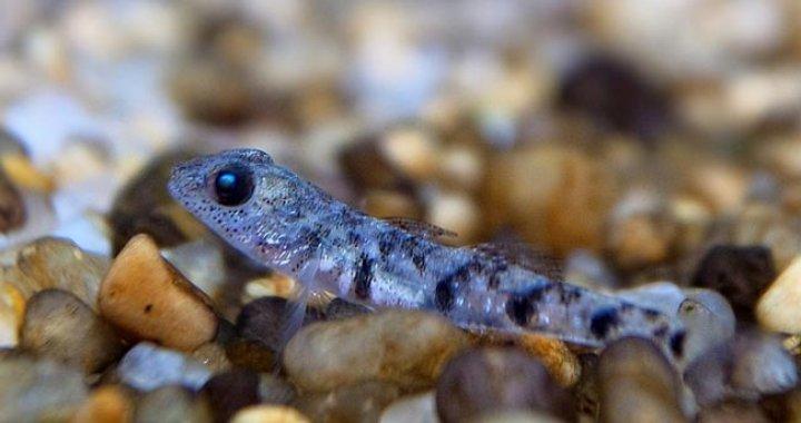 Pandaka Lidwilli - rybka
