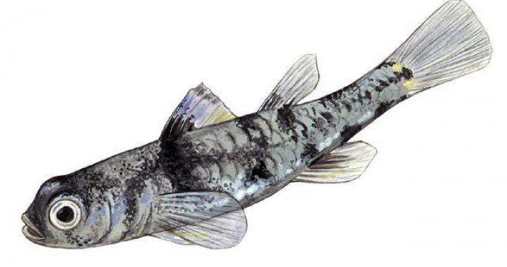 Pandaka Pygmea - rybka