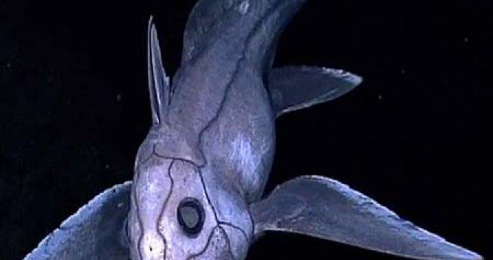 Ryba Chimera - ryby chimery