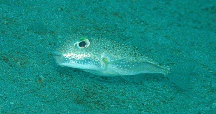 Rozdymka - Pufferfish
