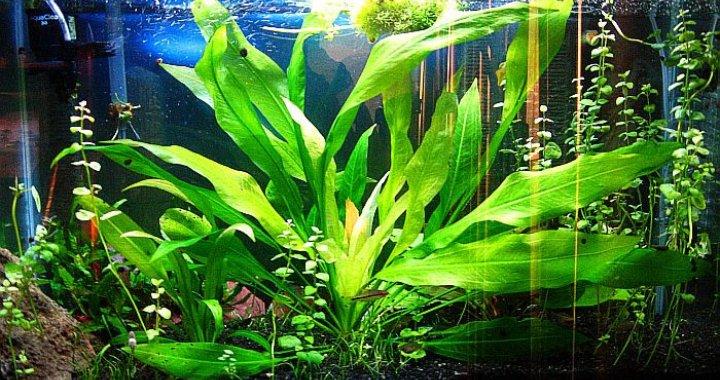 Żabienica amazońska - roślina akwariowa - Amazonka