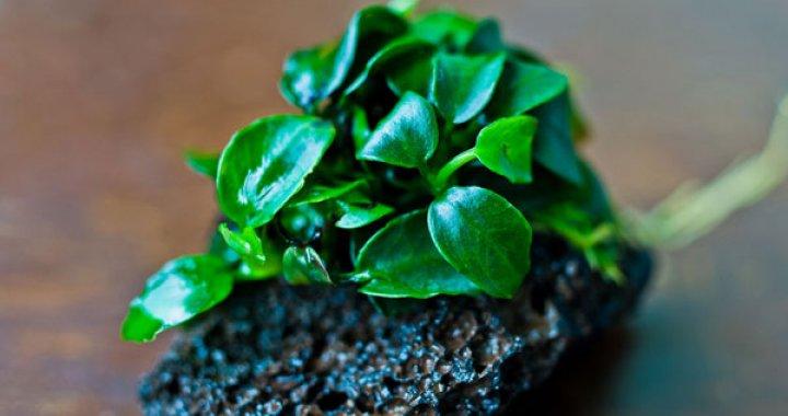 Anubias nana - roślina akwariowa, bateri
