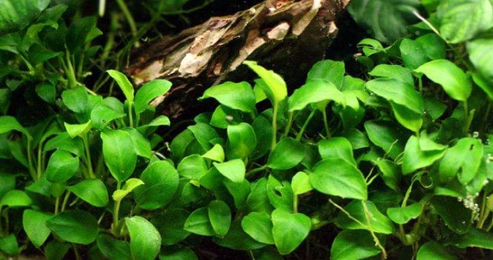 Anubias nana - roślina akwariowa,bateri
