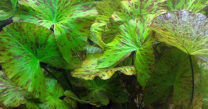 Roślina akwariowa Lotos