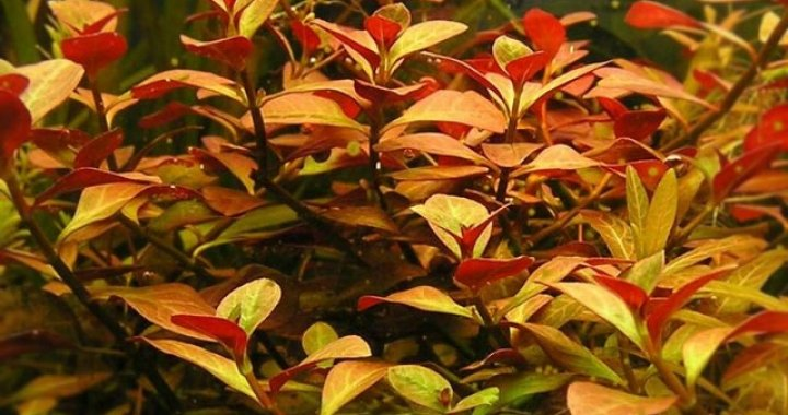 Ludwigia Repens Rubin Red