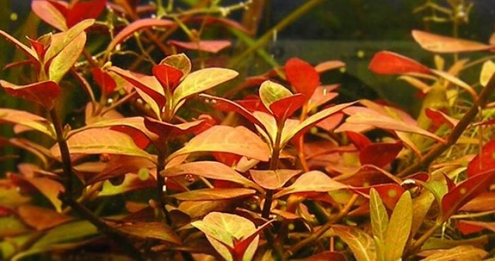 Ludwigie Repens Rubin Red