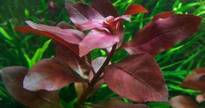 Ludwigie Repens Rubin Red