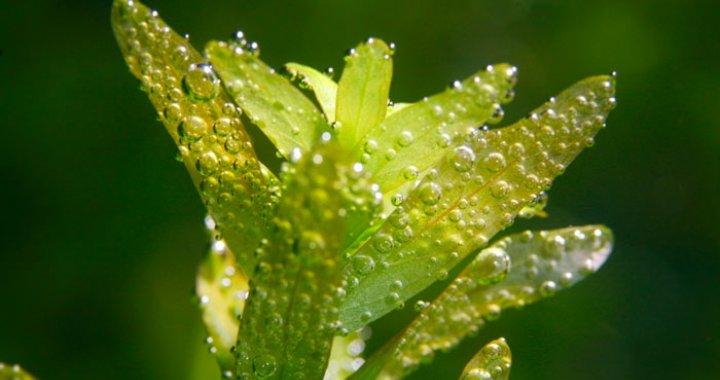 Rotala rotundifolia sp. Green