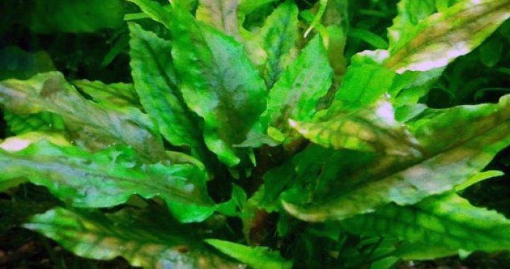 Zwartka Wendta - Kryptokoryna Wendta - roślina