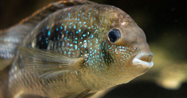 Akara błękitna - Andinoacara pulcher