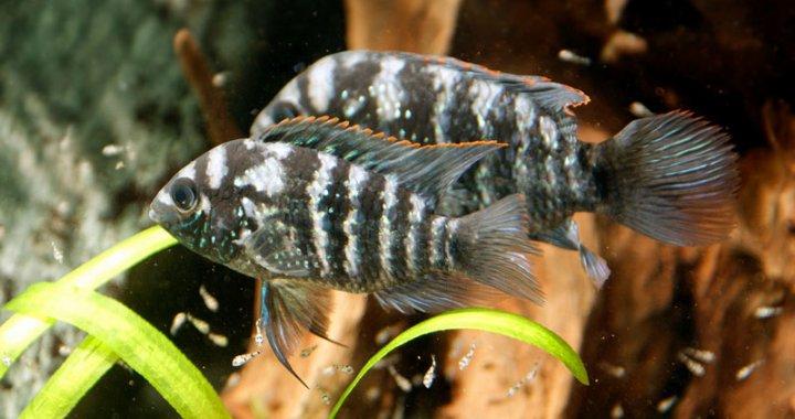 Akary błękitne - Andinoacara pulcher
