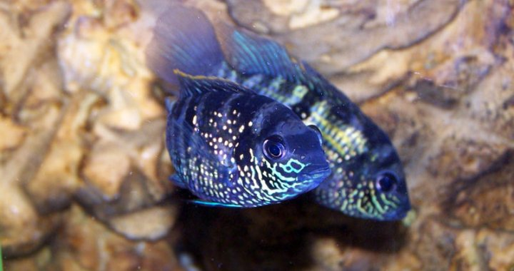 Akary błękitne - Blue Acara