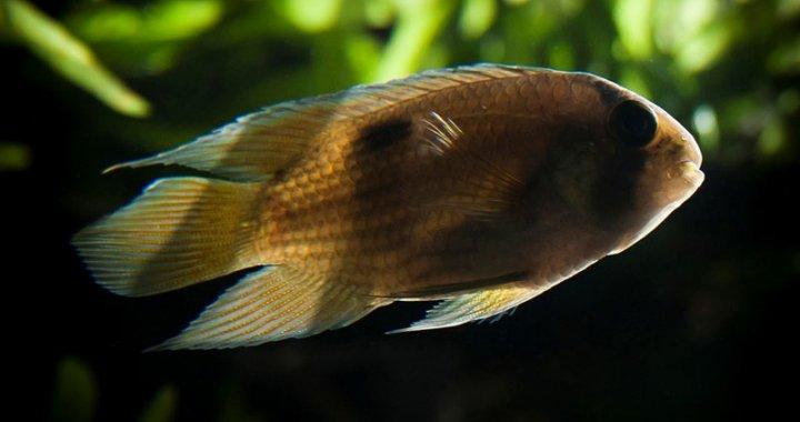 Akara z maroni - Cleithracara maronii