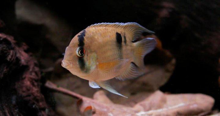 Akara marońska - ryba akwariowa