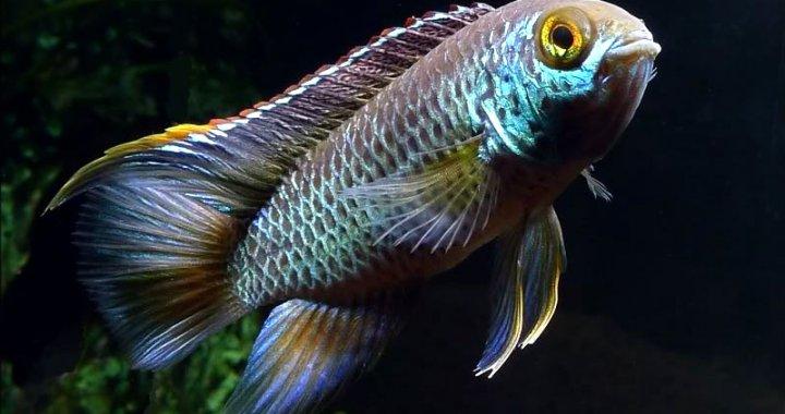 Akara paskowana - Nannacara anomala