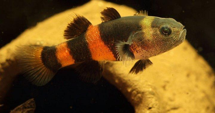 Babka złota - Brachygobius doriae