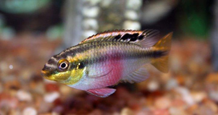 Barwniak czerwonobrzuchy samica