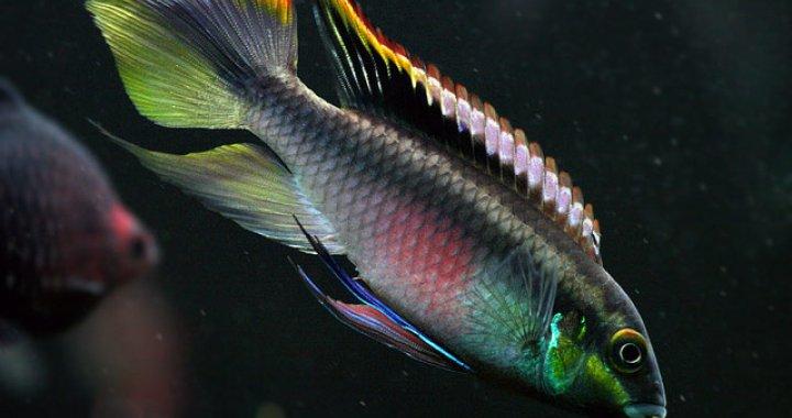 Barwniak czerwonobrzuchy - ryba akwariowa