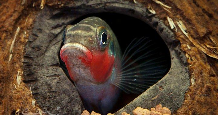Barwniak Szmaragdowy Nigeria Red samiec