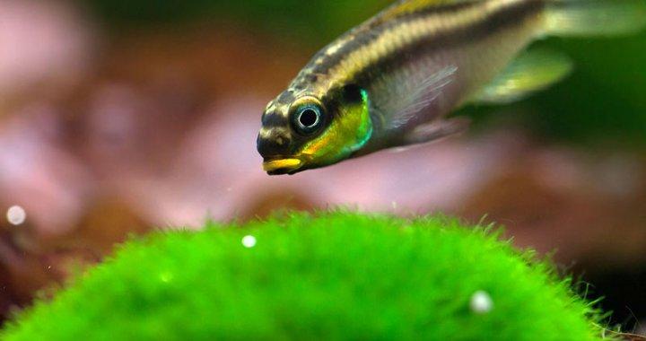 Barwniak Szmaragdowy - Pelvicachromis taeniatus