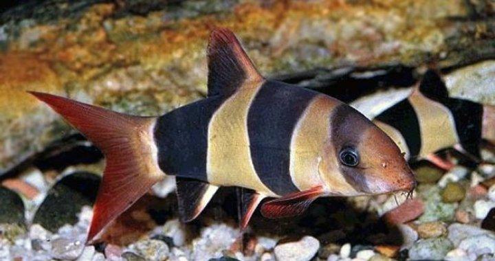 Bocja Wspaniała - ryba akwariowa, bocje