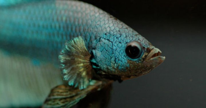Bojownik - ryba akwariowa, syjamski