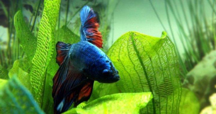 Bojownik - ryba akwariowa, wspaniały