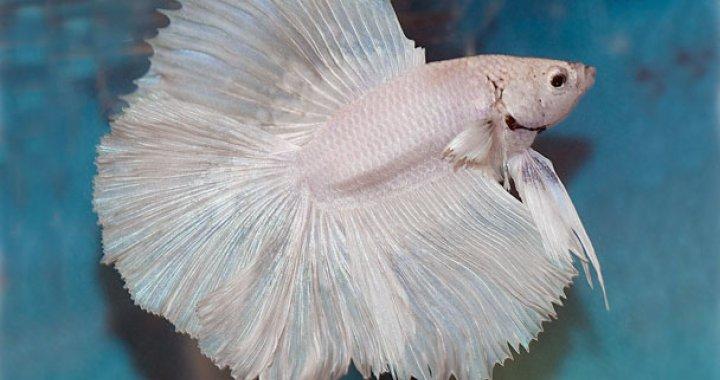 Bojownik - ryba akwariowa, Wspaniały Syjamski