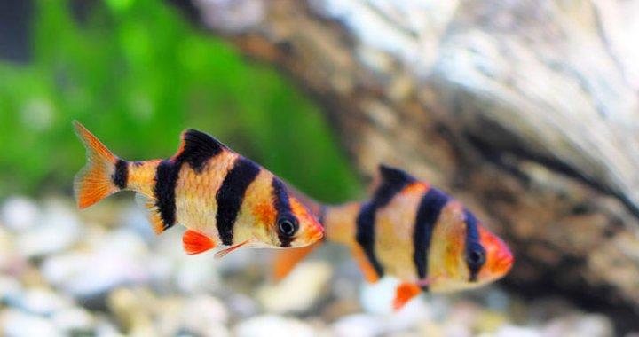Brzanki Sumatrzańskie - ryby akwariowe