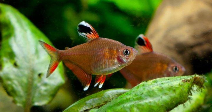 Bystrzyk Ozdobny - Ornatus - ryba akwariowa