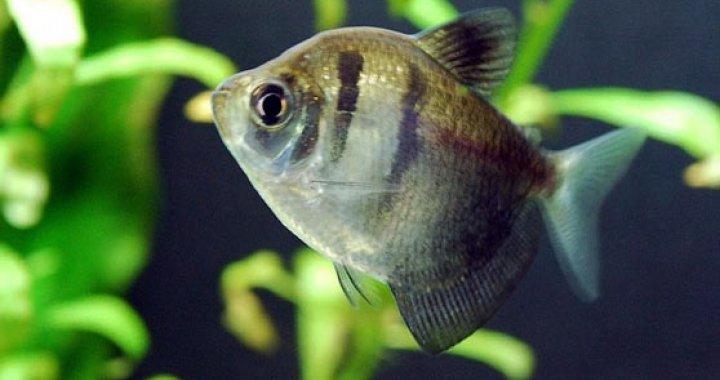 Żałobniczka - Czarna Tetra - ryba akwariowa