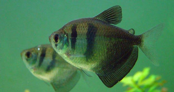 Żałobniczki - Czarne Tetry - ryby akwariowe