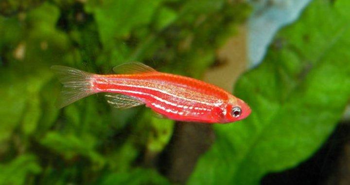 Danio - ryba akwariowa, lamparci, zebra, pręgowany