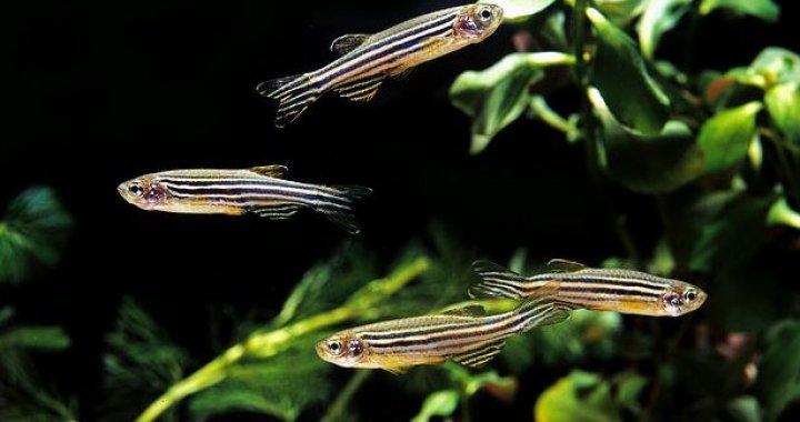 Ryby Danio lamparci, zebra, pręgowany