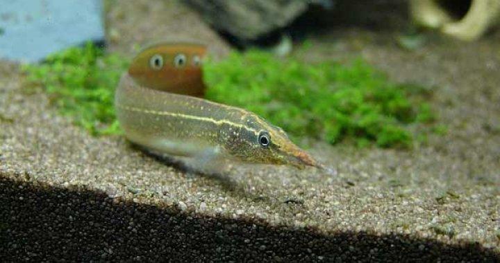 Długonos Ciernisty - ryba akwariowa - Węgorzyk
