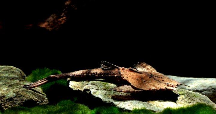 Drewniak dwubarwny - Banjo Catfish