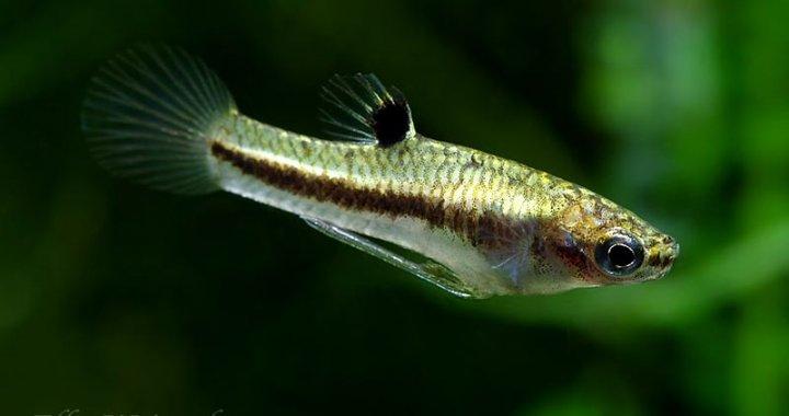 Drobniczka jednodniówka - Least Killifish