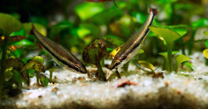 Drobnoustek obrzeżony - Dwarf Pencilfish
