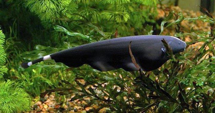 Duch Amazoński - ryba akwariowa - Duch Brazylijski