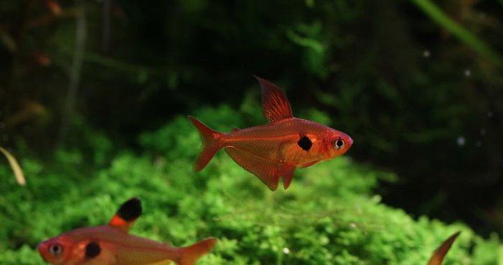 Barwieniec czerwony