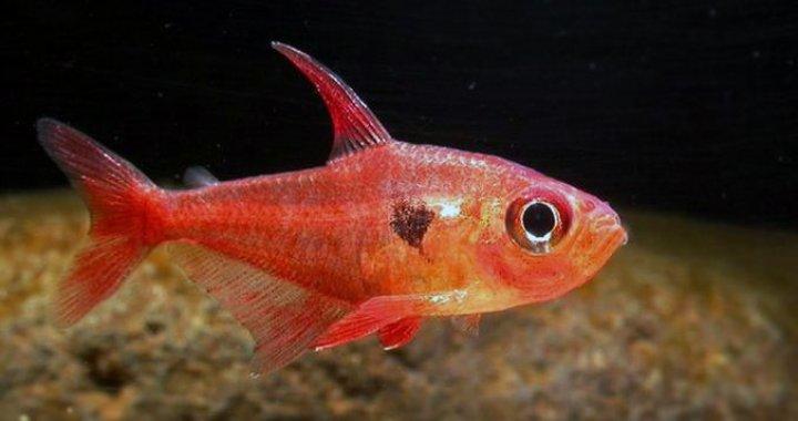 Barwieniec czerwony - Fantom czerwony