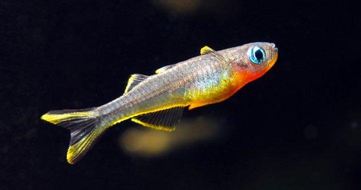 Pseudomugil furcatus - Modrook słoneczny