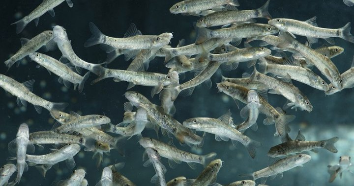Garra rufy - ryby akwariowe