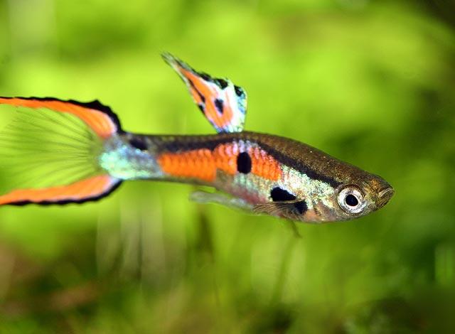[Obrazek: gupik-endlera-ryba-akwariowa-gupiki-ryby-7.jpg]