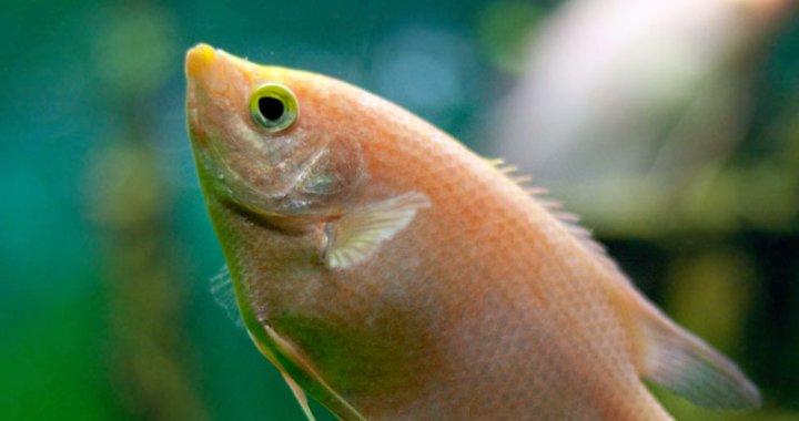 Gurami całujący - Helostoma temminkii
