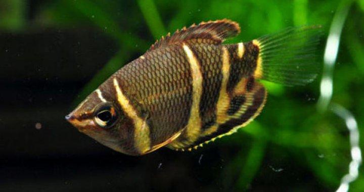 Gurami Czekoladowe - Gurami - ryby akwariowe