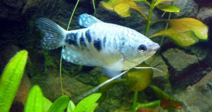 Gurami dwuplamisty, dwuplamy - ryba akwariowa