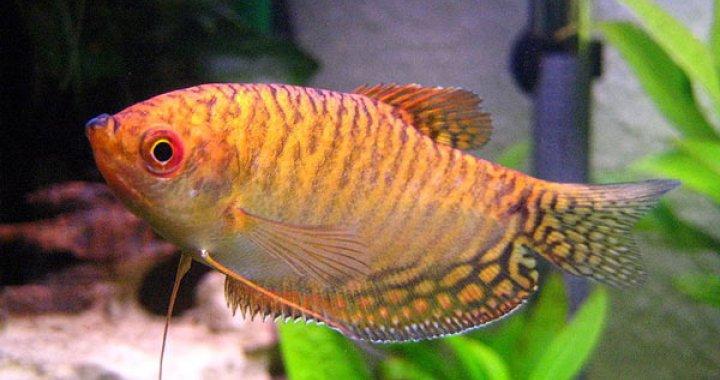 Gurami dwuplamisty złoty - ryba akwariowa