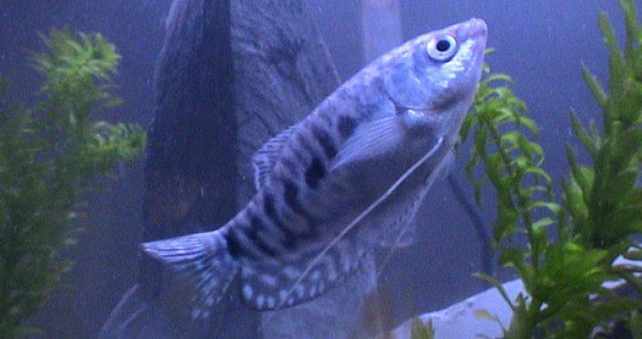 Gurami dwuplamisty niebieski - ryba akwariowa